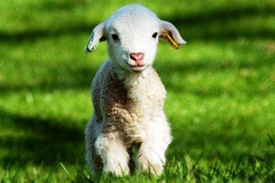 Seguire Gesù come teneri agnelli che senza farsi domande e voler capire tutto e subito lo seguono ovunque va