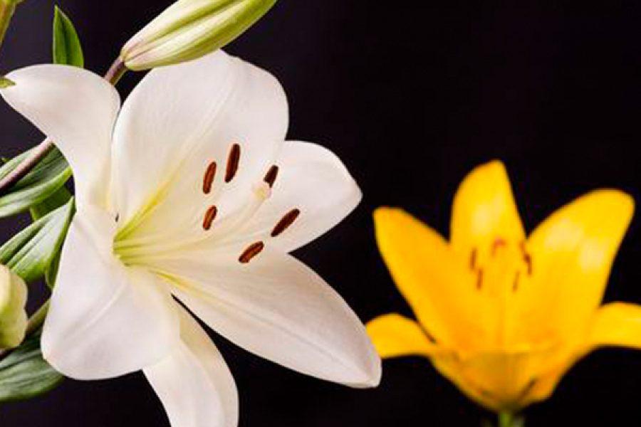 Non importa che il giglio sia bianco o giallo, ciò che importa è che sia semprevivo - Primo giorno del Triduo in preparazione alla solennità di S.Teresa di Gesù Bambino e del Volto Santo