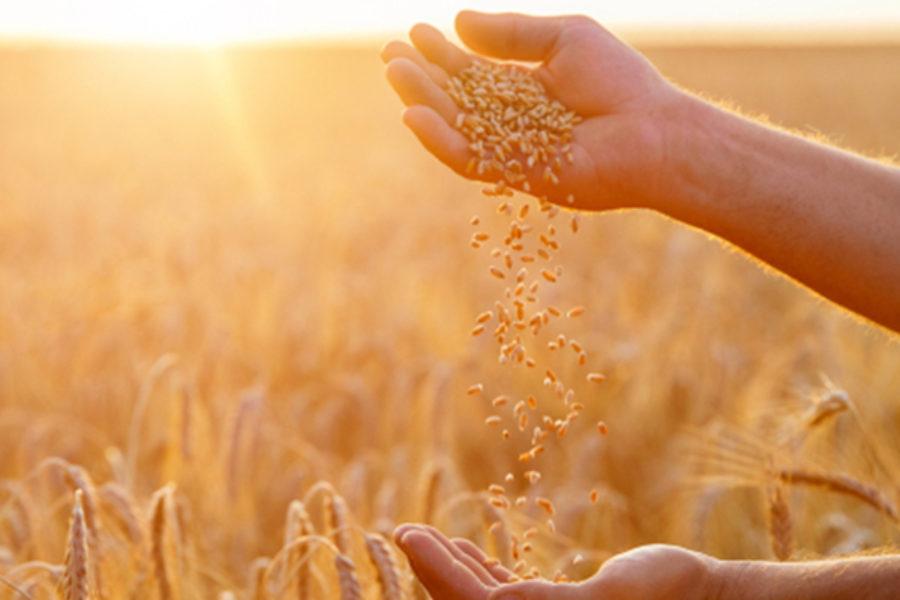 Il grano e la zizzania: i figli del Regno di Dio e i figli del diavolo
